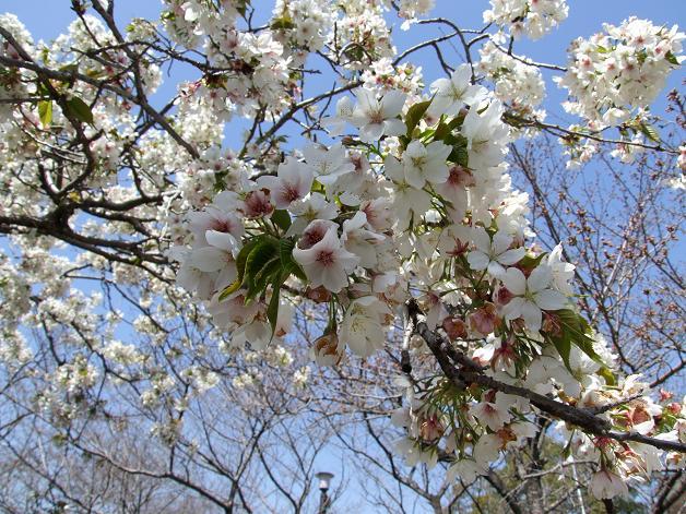 浅間神社の白い桜_b0089338_0563293.jpg