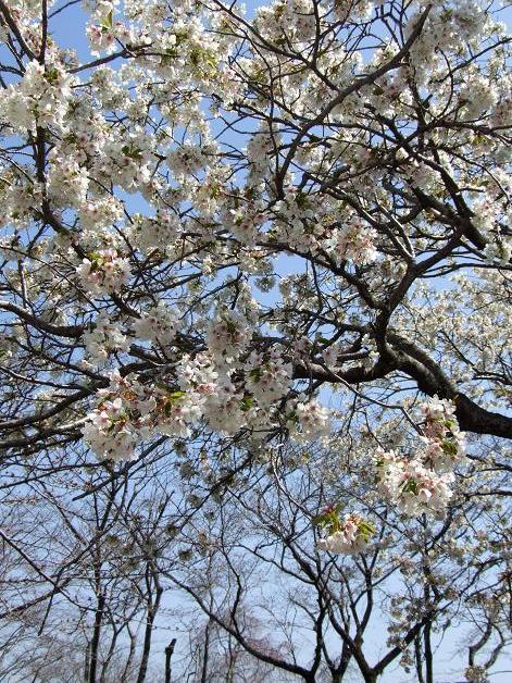 浅間神社の白い桜_b0089338_056885.jpg