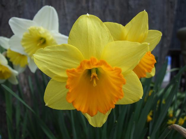 今年の庭の水仙たち。_b0089338_23164724.jpg