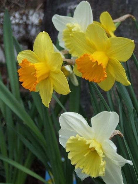 今年の庭の水仙たち。_b0089338_2316857.jpg