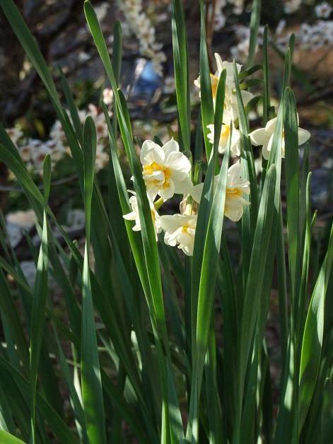 今年の庭の水仙たち。_b0089338_23171251.jpg