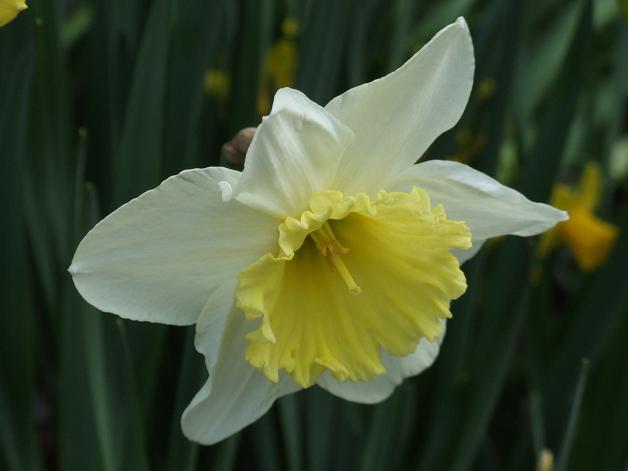 今年の庭の水仙たち。_b0089338_23172696.jpg