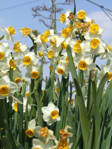 今年の庭の水仙たち。_b0089338_23183018.jpg