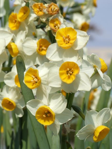 今年の庭の水仙たち。_b0089338_23183848.jpg