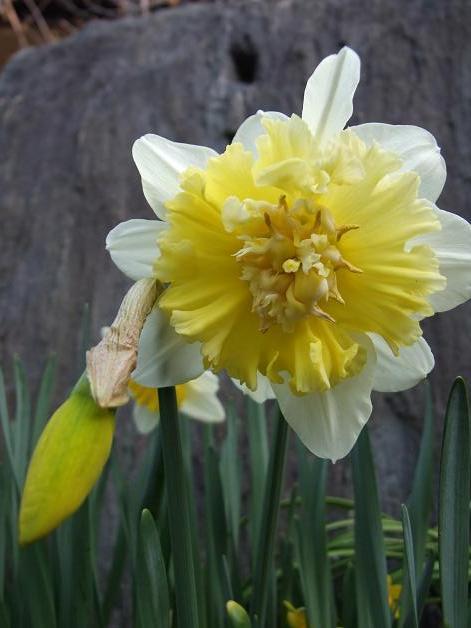 今年の庭の水仙たち。_b0089338_23185366.jpg