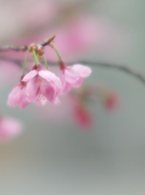 寒緋桜_f0018464_7171390.jpg
