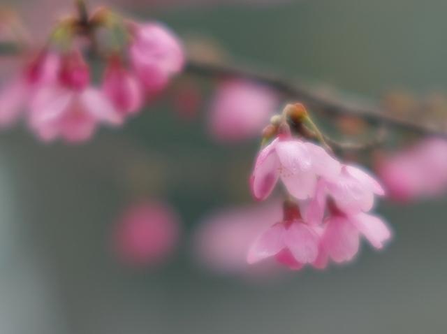 寒緋桜_f0018464_717261.jpg