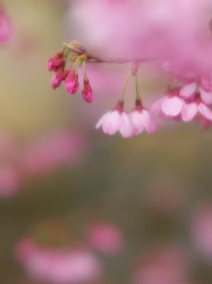 寒緋桜_f0018464_717434.jpg