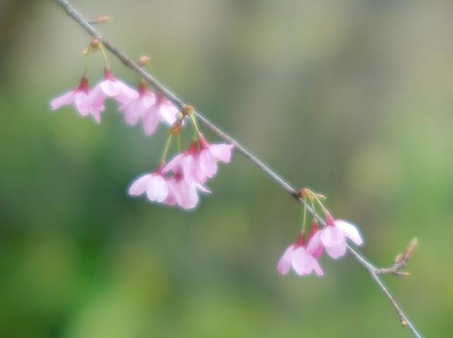 寒緋桜_f0018464_718671.jpg