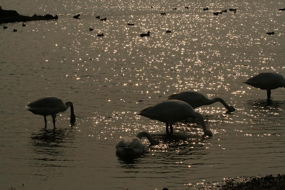 川島の白鳥を見に行きましたー1_a0107574_19475039.jpg