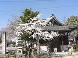 桜便り_f0059988_10134014.jpg