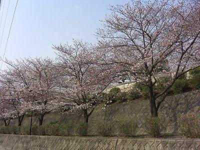 桜便り_f0059988_1014890.jpg