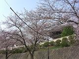 桜便り_f0059988_101851100.jpg