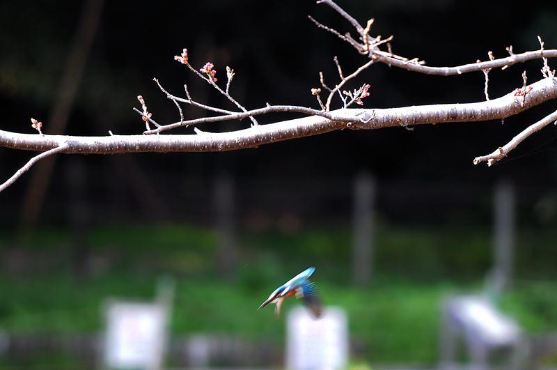 桜カワセミ・少し早すぎました/近所の名木_b0024798_6124460.jpg
