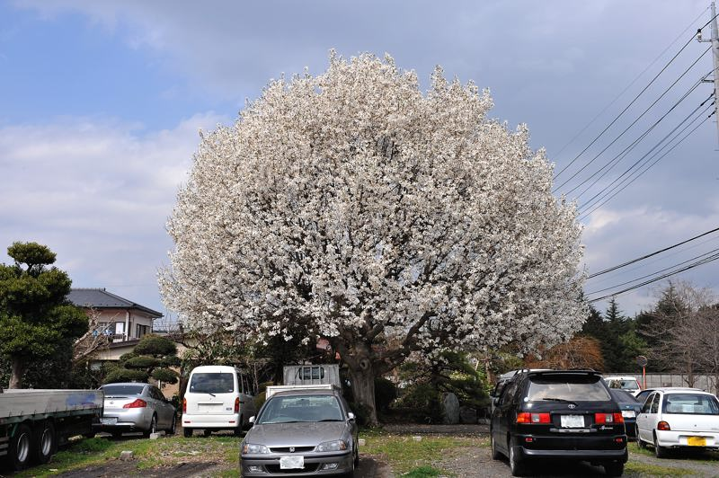 桜カワセミ・少し早すぎました/近所の名木_b0024798_6141537.jpg