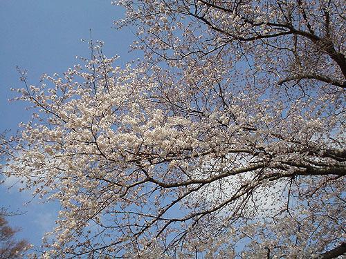 桜・咲くころ_c0137404_22543386.jpg