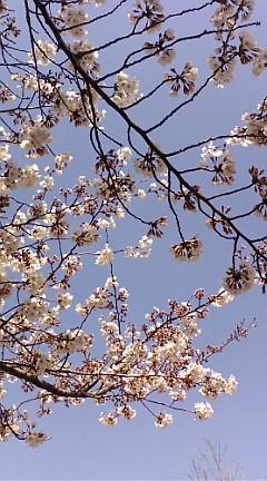 桜☆ほぼ満開!なのに、あすの天気は…_b0032617_2239935.jpg