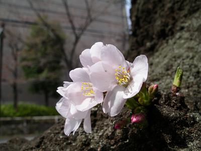 根元桜_f0108133_064974.jpg