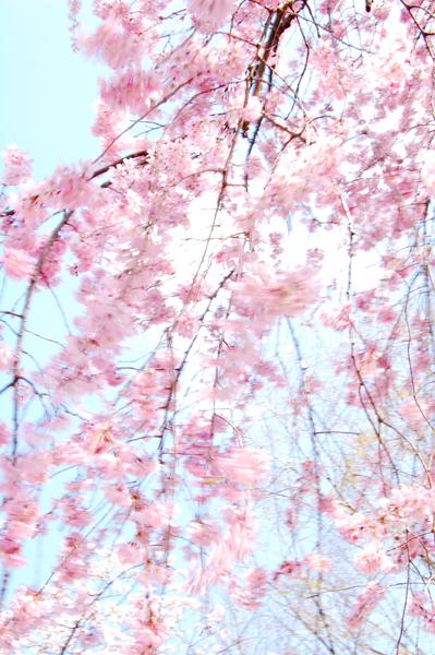 2008年春・東京の桜_a0003650_22163398.jpg