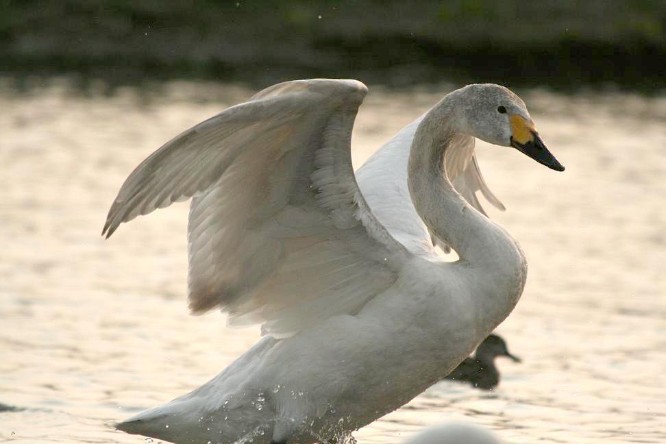 川島の白鳥を見に行きましたー1_a0107574_1244257.jpg