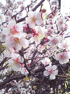 こちらの桜は_d0119487_7463097.jpg