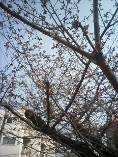 「京都-桜情報」その2  当薬局周辺(出町界隈)_a0076495_1935935.jpg