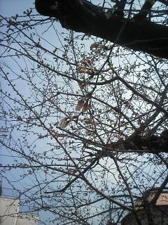 「京都-桜情報」その2  当薬局周辺(出町界隈)_a0076495_1942664.jpg