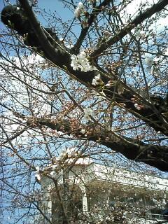 「京都-桜情報」その2  当薬局周辺(出町界隈)_a0076495_199097.jpg