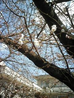 「京都-桜情報」その2  当薬局周辺(出町界隈)_a0076495_1992115.jpg