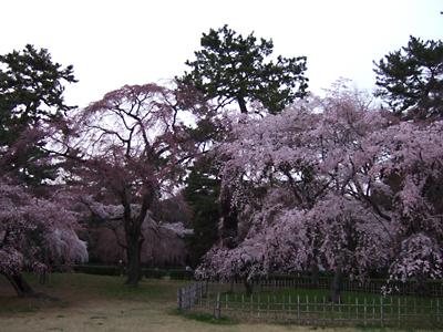 京都桜だより2008・御所糸桜はこの週末見ごろと思しき_c0069903_1526553.jpg