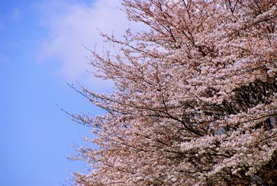 桜満開、赤坂さかす、生蛸 3月27日(木) 1478_b0069507_6333725.jpg