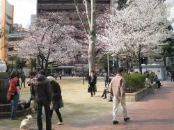 桜~満開!_d0091909_1604171.jpg