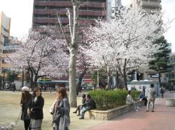 桜~満開!_d0091909_1624832.jpg