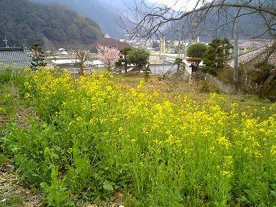菜の花の頃_c0060919_1718622.jpg