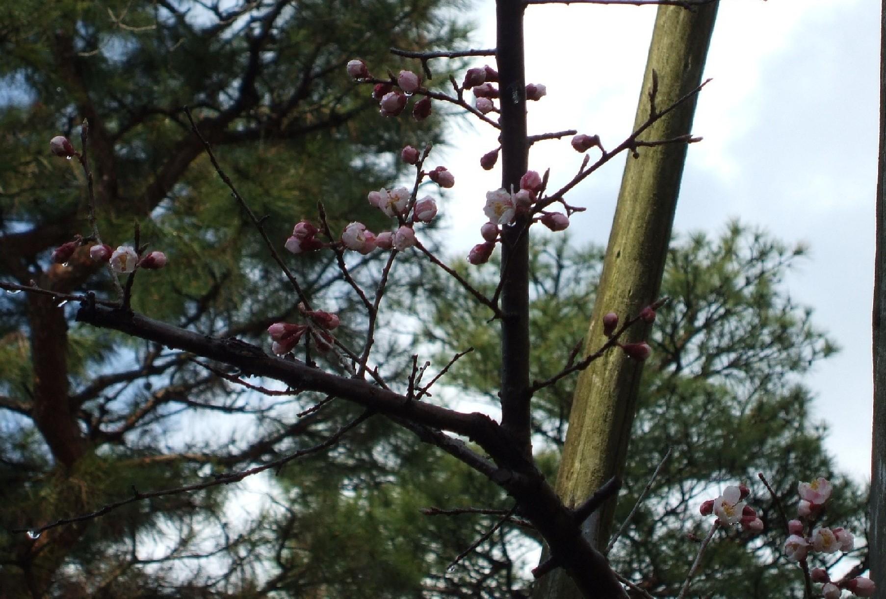 紅梅も咲き始めました☆_e0135219_1752156.jpg