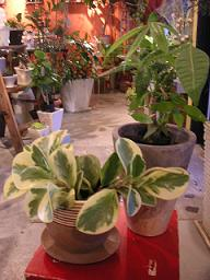 観葉植物が入りました_a0077025_17532043.jpg