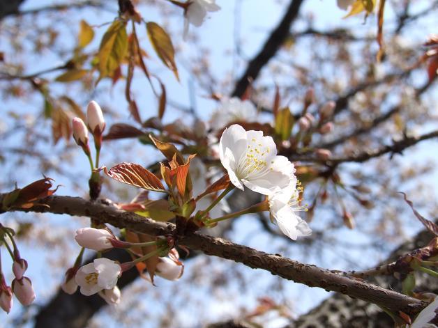 桜満開宣言_b0089338_3154082.jpg