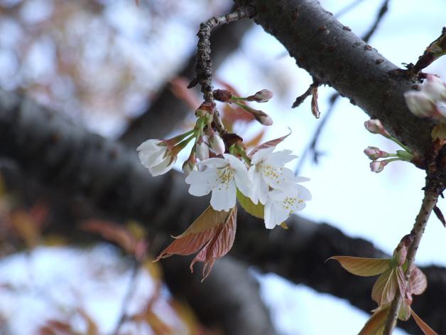 桜満開宣言_b0089338_3161573.jpg