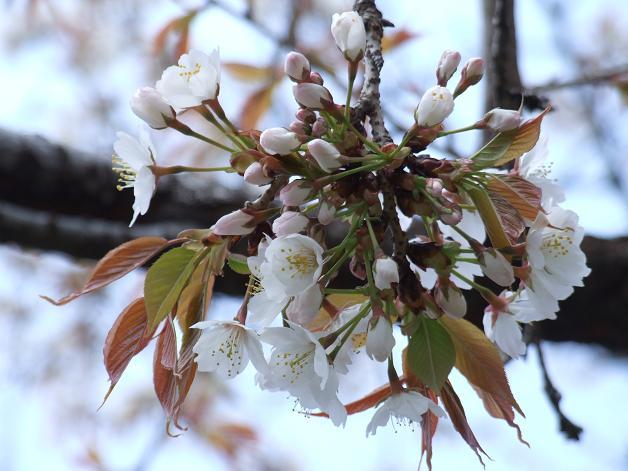 桜満開宣言_b0089338_3162376.jpg