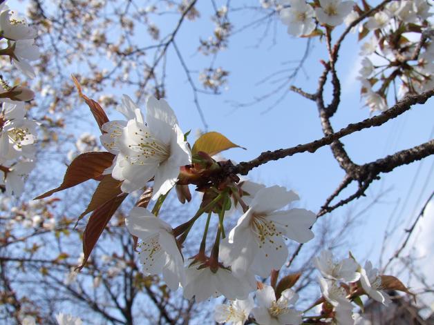 桜満開宣言_b0089338_3163255.jpg