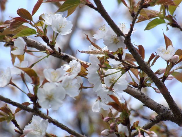 桜満開宣言_b0089338_3164312.jpg