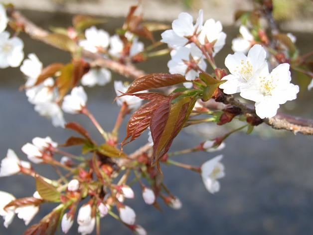 桜満開宣言_b0089338_316545.jpg