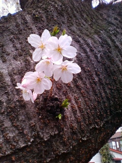 桜_b0026760_10284619.jpg