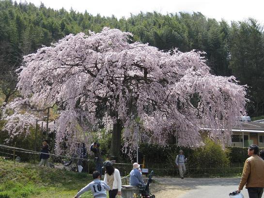 しだれ桜~~~たれ~~_e0146484_14341164.jpg