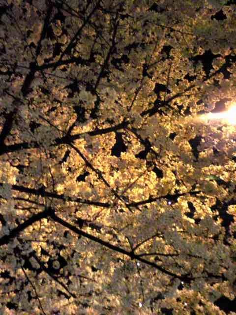 Sakura_e0019200_1132320.jpg
