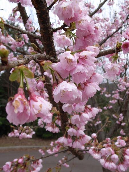 運動公園の桜_f0138600_19402929.jpg