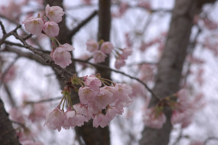 桜をどう撮る?_f0138600_21511668.jpg