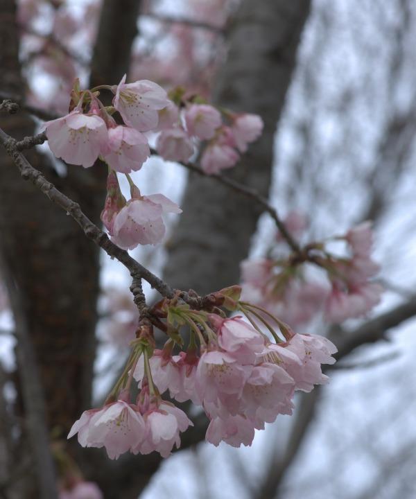 桜をどう撮る?_f0138600_2151276.jpg