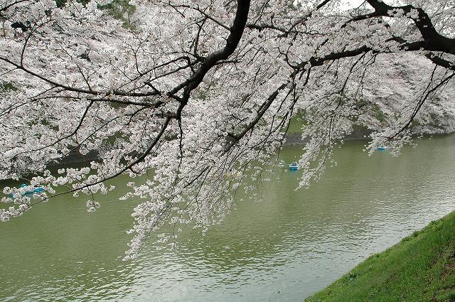 2008年千鳥が淵の桜&こぶちゃん(ムービー)_f0012718_0523887.jpg