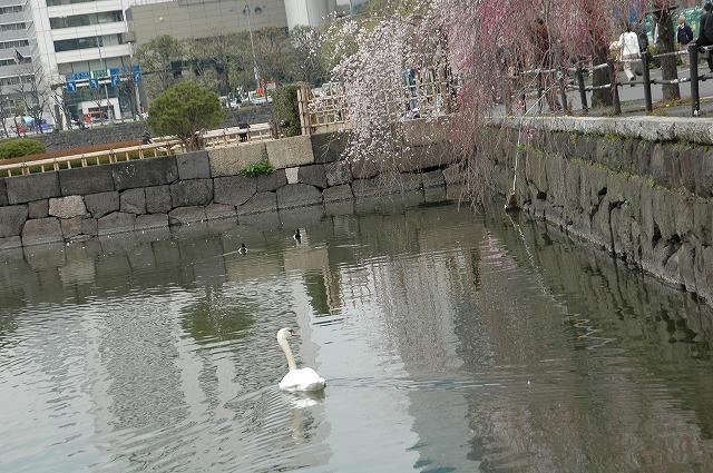 2008年千鳥が淵の桜&こぶちゃん(ムービー)_f0012718_0545512.jpg